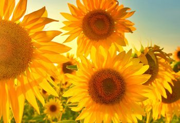 ویتامینD به درمان آفتاب سوختگی کمک می کند.